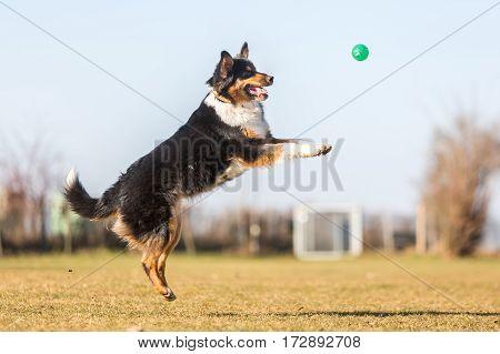 Australian Shepherd Jumps For A Ball
