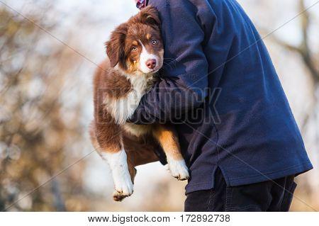 Man Carries An Australian Shepherd Puppy