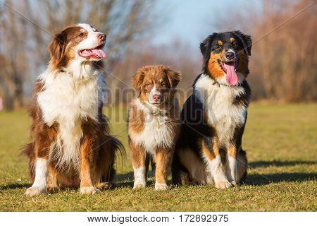 Three Australian Shepherd Sitting On The Meadow