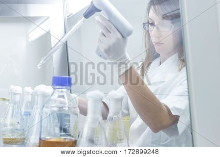 Female scientist researching in laboratory, pipetting cell culture samples on LB agar medium in laminar flow. Life science professional grafting bacteria in Erlenmeyer flask.