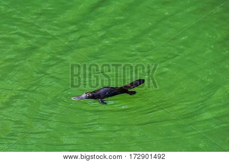 Platypus in Atherton Tablelands in Queensland Australia