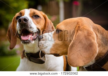 Beagle having fun knowing me knowing you