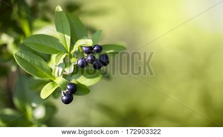 Healthy herbal concept - website banner of blackthorn berries with green leaves