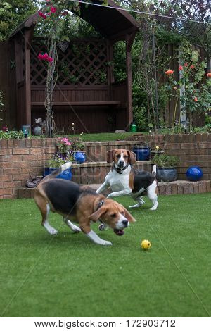 Beagles running about playing  fetch and chasing ball