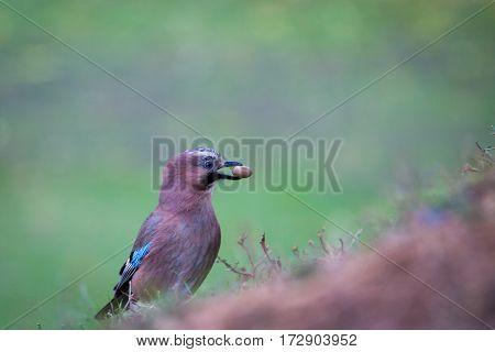Eurasian Jay on the grass in the park holding acorn in its beak.
