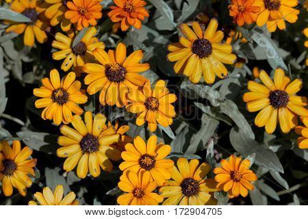Many yellow flowers only in garden can be use to backgound