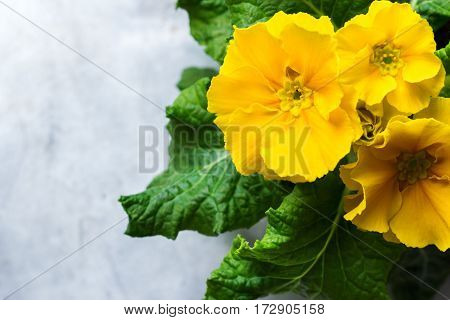Colorful bright yellow primrose primula polyanthus flowers on a rustic wooden table. Spring easter garden composition