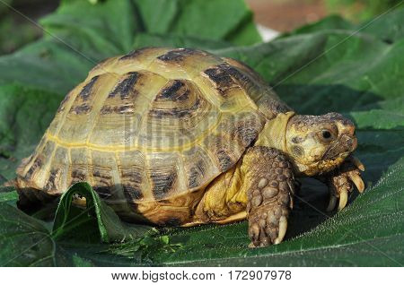 Big turtle lying on the leaves in the sun