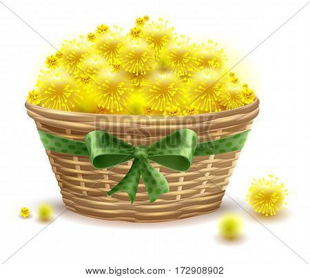 Yellow mimosa flowers full wicker basket. Isolated on white vector illustration