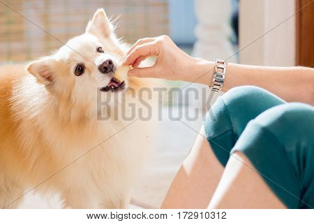 woman hand feeding pet dog while playing and training, giving a reward