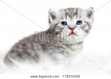 Kitten with blue eyes. Cute gray striped purebred kitten.