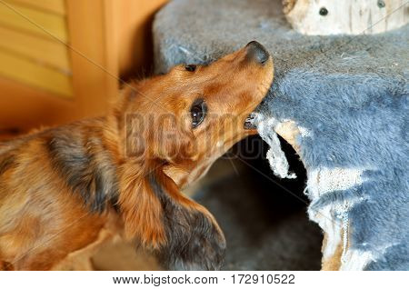 funny small red dog chews furniture, dachshund
