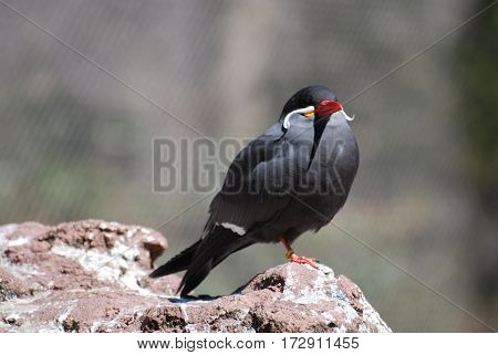 Face of an Inca tern bird balancing on a rock.