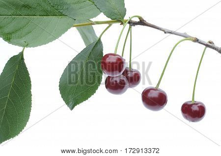 Red ripe cherries hanging on a branch