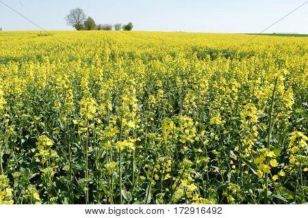 Landscape of a Colza field on France