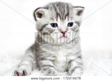 Kitten with blue eyes sitting. Cute gray striped purebred kitten.