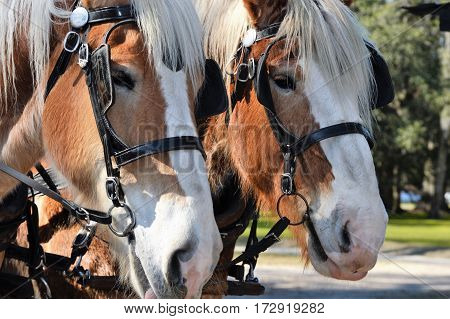 vertical shot of two Belgian draft horses faces