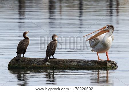 White Pelican complains to two cormorants about possession of a log.