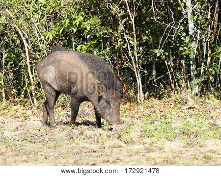Wild boar Sus scrofa cristalus national park Wilpattu Sri Lanka boar rooting in the soil