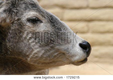 Zebu In Profile