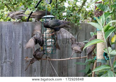 photo of a family of starlings fighting over food