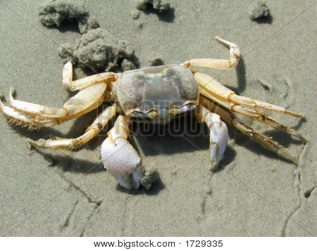 Top view of a Ghost Crab on the beach. poster