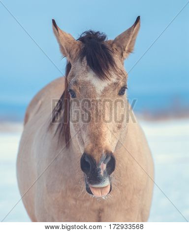 funny portrait of a buckskin horse with its tongue hanging out