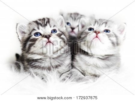Cute kittens on a white background. Beautiful plush kittens babies with blue eyes.