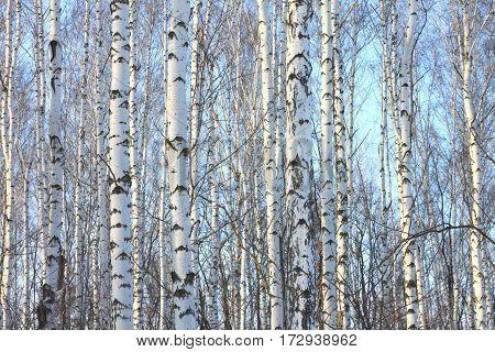 Birch trees in bright sunshine / trunks of birch trees in birch-wood