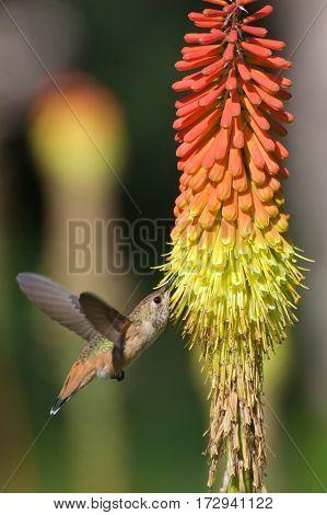 Hummingbird nectaring on red hot poker flower