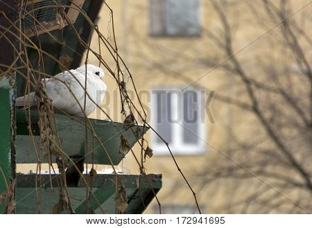 white dove bird sits near pigeon green branches on a winter afternoon