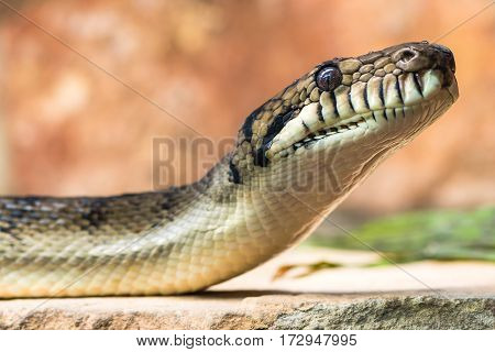 Amethystine python (Morelia amethistina) head and neck raised. Large snake in family Pythonidae found in Indonesia Papua New Guinea and Australia