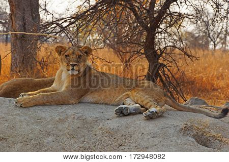 lioness lies stretched out on a rock in the african bush and looks into the camera Zimbabwe