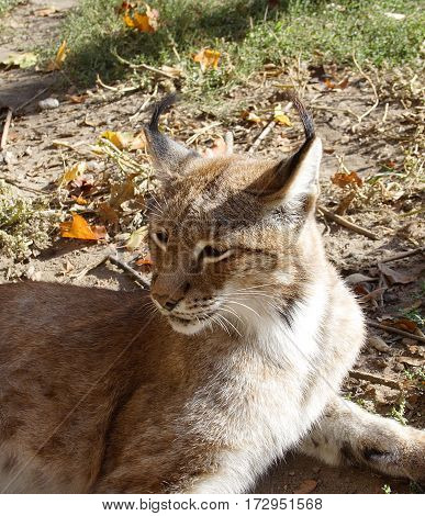 The lynx is basked in the sun