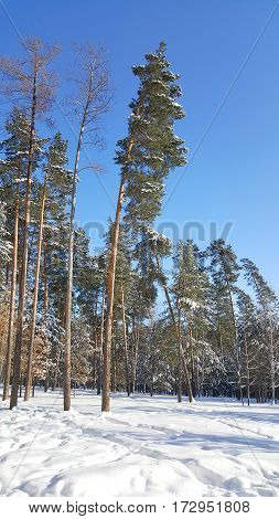Coniferous pine forest in the sunny winter afternoon