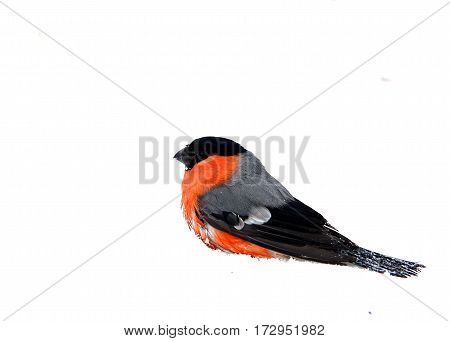 The bullfinch with a red breast sits on white snow