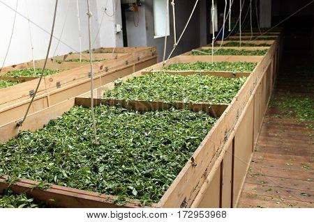 Tea plantation and factory . Sao Miguel, Azores, Portugal