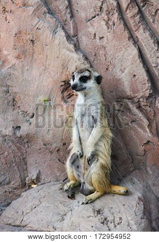 one meerkat standing on a rock and keeping lookout.
