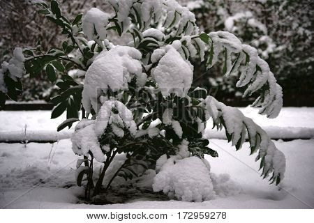 The snowed in leaves and branches of a rhododendron plant.