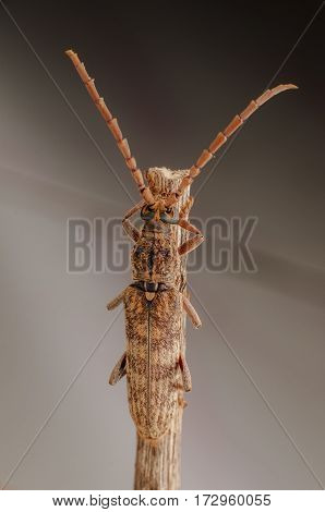 Longhorn beetle solitary break in the wooden handle