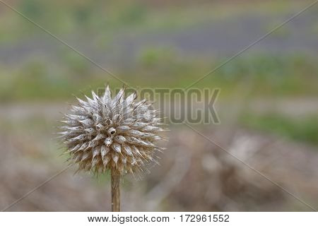 Dried flower cluster of onion flower picture from Tenerife Spain.