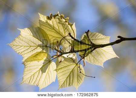 Young leaves and flowers of East Asian stripe maple (Acer tegmentosum) on blue sky background