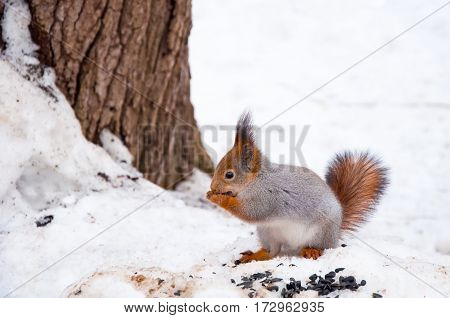 the squirrel eats sunflower seeds in the winter in the park