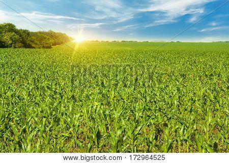 Young maize fieldCorn field in early morning light.