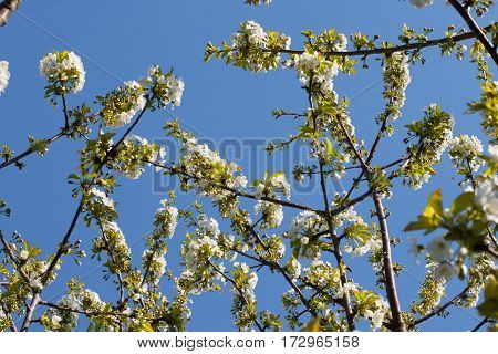 white blooming branch of cherry tree in spring