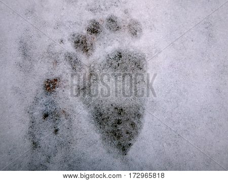Bear tracks in the snow (Ursus arctos)