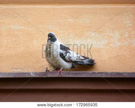 Photo of a mottled pigeon sitting on a ledge