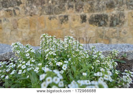 Set of white flowers in the street