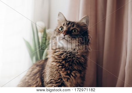 Beautiful Cat Looking With Curios Green Eyes Big Whiskers And Funny Emotions On Background Of Window
