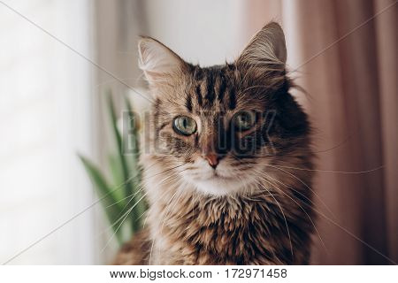 Beautiful Cat Look Portrait. Maine Coon With Amazing Green Eyes, Big Whiskers And Funny Emotions On